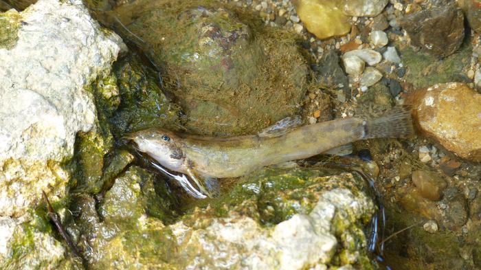 Erraustegitik isuritako ezohiko amoniako kopurua, asteburuan ehunka arrain hilik agerturiko Arkaitzerrekan
